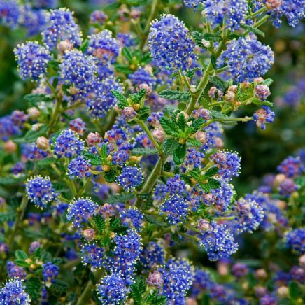 621 best ideas about bushes and shrubs on pinterest sun for Blue flowering bush
