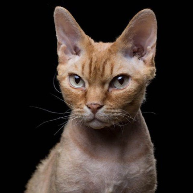17 Breeds of Cat That Are All Beautiful - We Love Cats and Kittens ~ 7. Devon Rex
