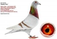 Top pigeons for sale • Herbots • Herbots