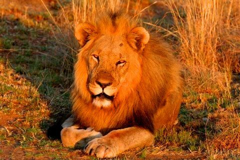 Canned hunting is a fast-growing business in South Africa, where thousands of lions are being bred on farms to be shot by wealthy foreign trophy-hunters. To add insult to injury it would seem that …