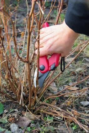 Pruning a hydrangea; Copyright Lianem at Dreamstime.com