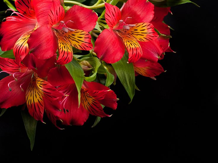 Picture Red Flowers Alstroemeria Closeup Black background