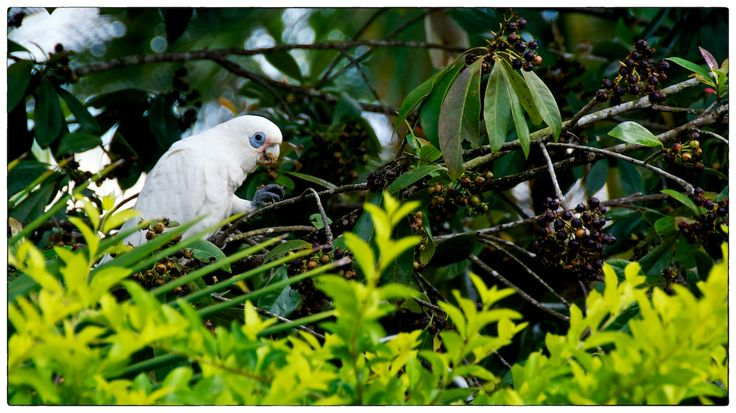 Parrot foraging among the trees for ripe berries....