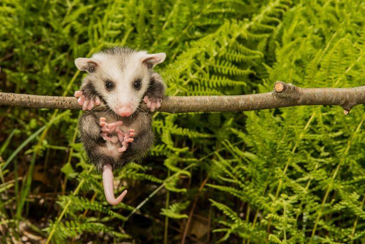 Opossum : Gece yaşayan hayvanlar olan opossumlar günün 18 ila 20 saatini uykuda geçirirler. Buldukları her karanlık ve ıssız yerde pinekleyebilme marifetleriyle tanınan opossumlar yalnızca Kuzey Amerika kıtasında yaşıyorlar. Amerikalıların arka bahçelerini zararlı böceklerden temizleyen bu sevimli memeliler de en tembel 11 hayvandan biri.