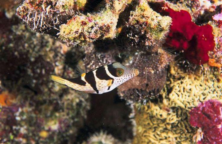 Le souffleur à selle noire dans l'atoll de Fakarava