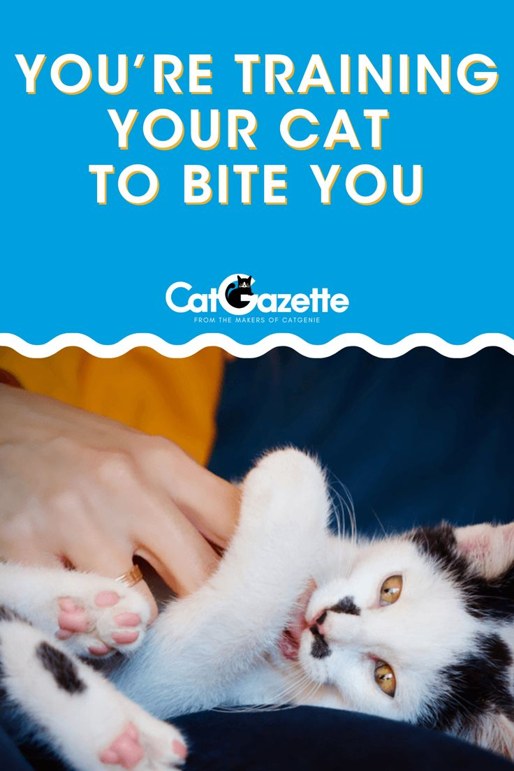 You Re Training Your Cat To Bite You What Is Play Aggression In 2020 Cats Little Kitty Cat Behavior