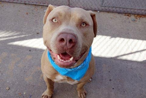 THEODORE - A1095263 - - Manhattan  Please Share:TO BE DESTROYED 11/13/16  A volunteer writes: Hunk Alert! There is simply no other way to describe him — he's a hunk, and would likely be voted Prom King if we were still in school. Like the famous Theodores before him, Theodore Roosevelt, and Theodore from Alvin and the Chipmunks, our Theodore is a combination of all good things: stately, fun, playful, affectionate, smart and enchanting. Theo seems to be housetrai
