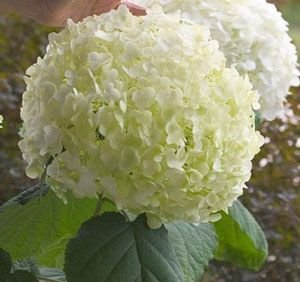 The 'Incrediball' Hydrangea Plant definitely is well-deserving of its name. Native to the Americas, the creamy white balls of flowers can be a full foot across, supported above dark green foliage on sturdy stems that never flop.