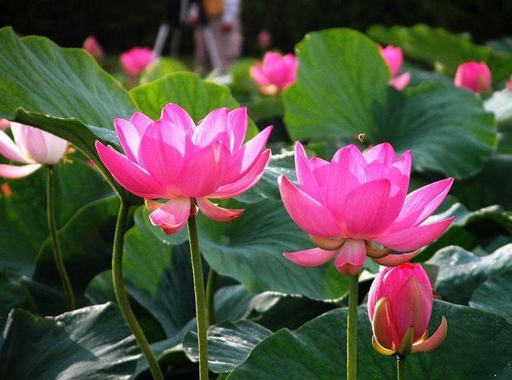 Розовый Семена Лотоса Водные растения Водяная лилия семян растения Бонсай Семена для дома и сада 10 семена/мешок бесплатно доставка