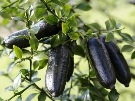 Australian Finger Lime fruit on tree...now used in many restaurants