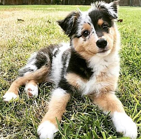 With Their Spunky Attitudes And Fluffy Coats Its No Wonder That So Many People Consider Getting An Aust In 2020 Shepherd Dog Breeds Australian Shepherd Puppies Puppies