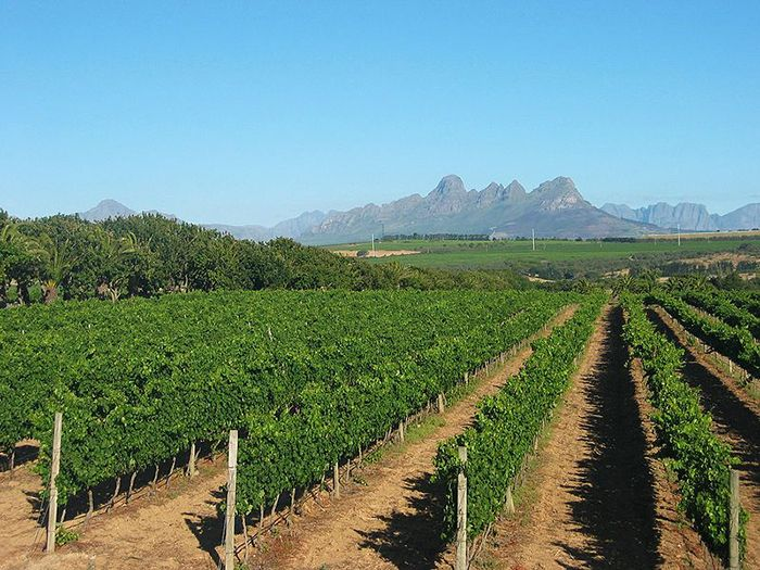 Vineyard in the Western Cape