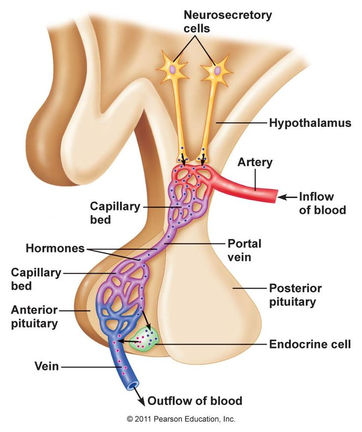 Hypothalamic Pituitary Portal System