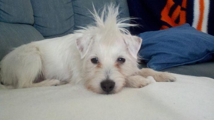Super nelly my broken coat jack russell terrier