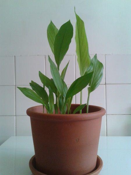 Faire pousser du curcuma chez soi, c'est possible ! | [Books of] Dante