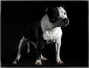Un Staffordshire bull terrier bicolor.