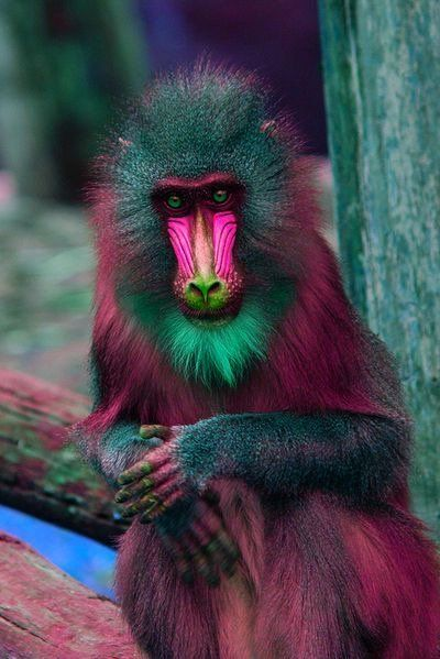 Baby Mandrill Monkey
