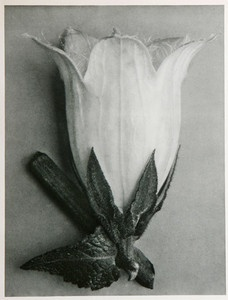 Karl Blossfeldt Pasque Flower  http://www.tamoneillfinearts.com/karl-blossfeldt