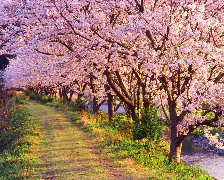 Cerezos en flor en el Monte Yoshino en Nara, Japon.