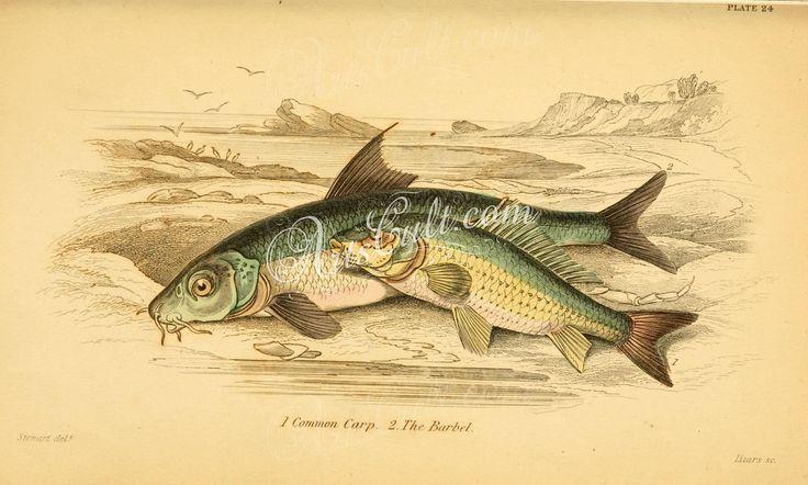 Common Carp, Barbel      ...