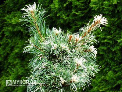 Pinus parviflora Tanima-no-yuki
