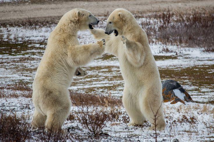 All sizes   Wild Polar Bears in Churchill   Flickr - Photo Sharing!