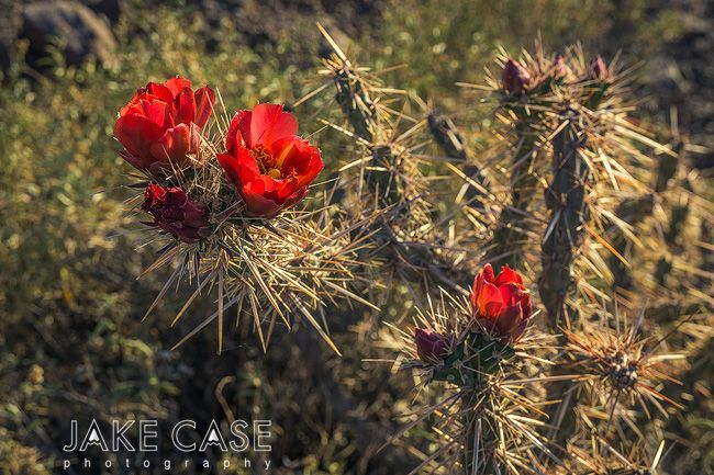 Arizona Wildflowers Guide Sonoran Desert In 2020 Arizona Wildflowers Sonoran Desert Wild Flowers