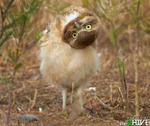 Hello!Funny Birds, Baby Owls, Washington States, Cameras Lens, Henrik Nilsson, Owls Baby, Things, Burrowing Owls, Animal