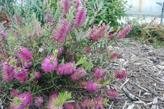 Callistemon Rosy Morn --- For more Australian native plants visit austraflora.com
