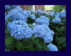 Zenfidan 2 Yaş Mavi Ortanca Fidanı,Saksıda