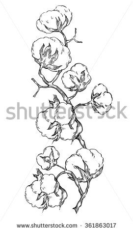 Hand Made Vector Sketch Of Cotton Plants. Cracked Bolls On A Cotton Plant. Vector Elements For Your Design. Hand Drawn Botanical Illustration. - 361863017 : Shutterstock