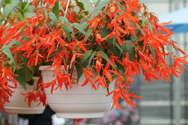 Begonia boliviensis Santa Cruz  Le bégonia Santa Cruz Sunset a été élu plus belle nouvelle fleur pour l'année 2012 (American Award Winner 2012) parmi beaucoup d'autres par les visiteurs de 28 jardins botaniques américains.  http://www.pariscotejardin.fr/2013/03/begonia-boliviensis-santa-cruz/