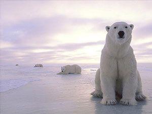 Kutup ayıları da mülteci oldu