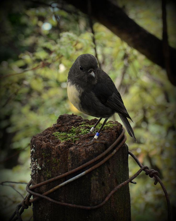 Robin, Motuara