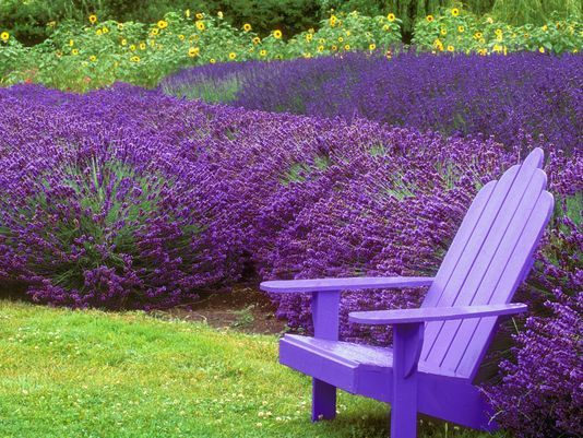 060416-2lavender Empty adirondack chair in a park