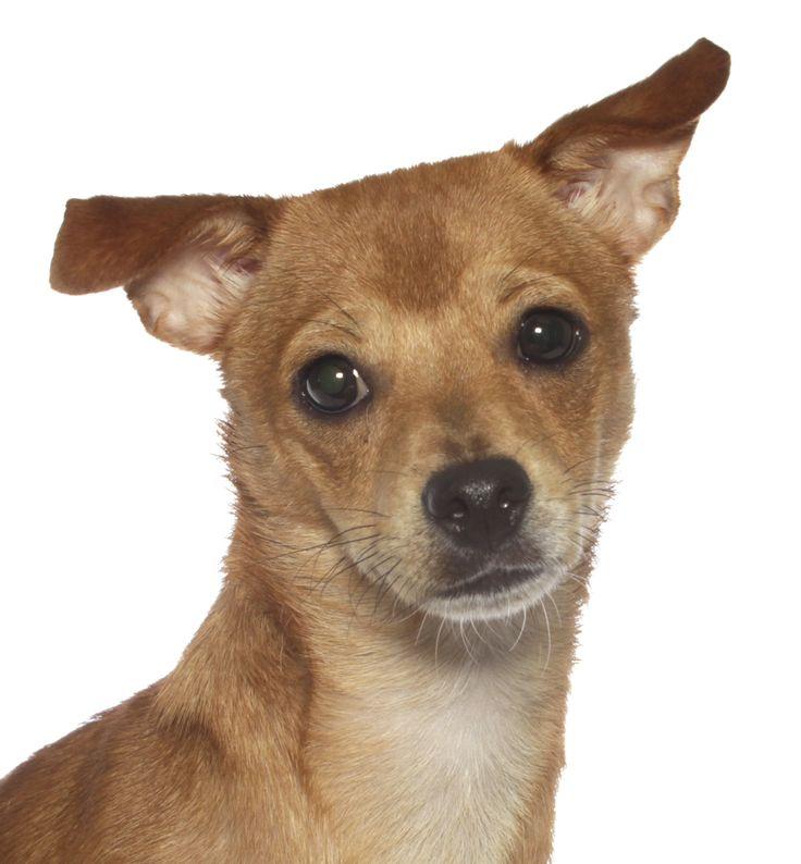 Jack Chi dog for Adoption in Oakland Park, FL. ADN-593005 on PuppyFinder.com Gender: Female. Age: Young