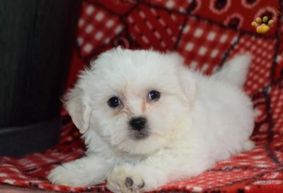 Pretty Pal - Shichon Puppy for Sale in Millerburg, OH | Buckeye Puppies