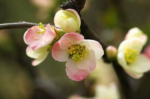 2010/3/5 大阪長居植物園 ぼけ (木瓜):バラ科ボケ属の落葉低木で、学名は Chaenomeles speciosa。英名は Japanese quince, Flowering quince。
