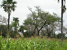 Faidherbia trees in agroforestry