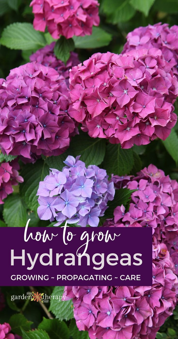 The Essential Guide To Growing Hydrangeas In 2020 Growing Hydrangeas Hydrangea Care Planting Hydrangeas