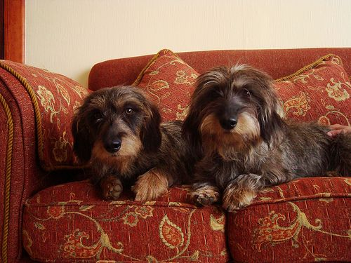 17 Best Images About Wire Haired Dachshunds On Pinterest