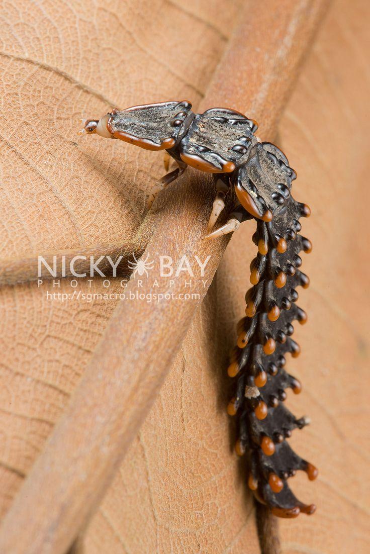 ˚Trilobite beetle larva (Platerodrilus sp.)