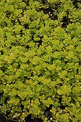 Click to view full-size photo of Golden Creeping Jenny (Lysimachia nummularia 'Aurea') at Gertens