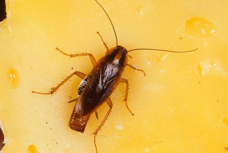 best 25 german cockroach ideas on pinterest roaches how to kill cockroaches and killing roaches. Black Bedroom Furniture Sets. Home Design Ideas