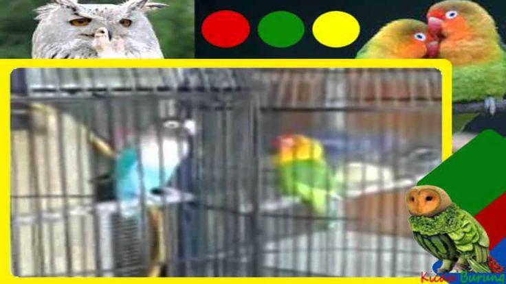 Suara burung Love Bird Juara Ngekek panjang