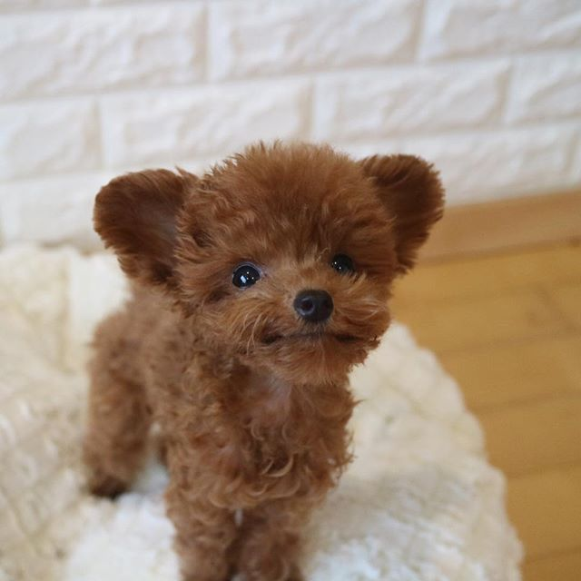 A Dog Famous As The Most Cute Dog And Looks Like A Toy Though It