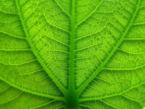 Green as a leaf | por Criss!