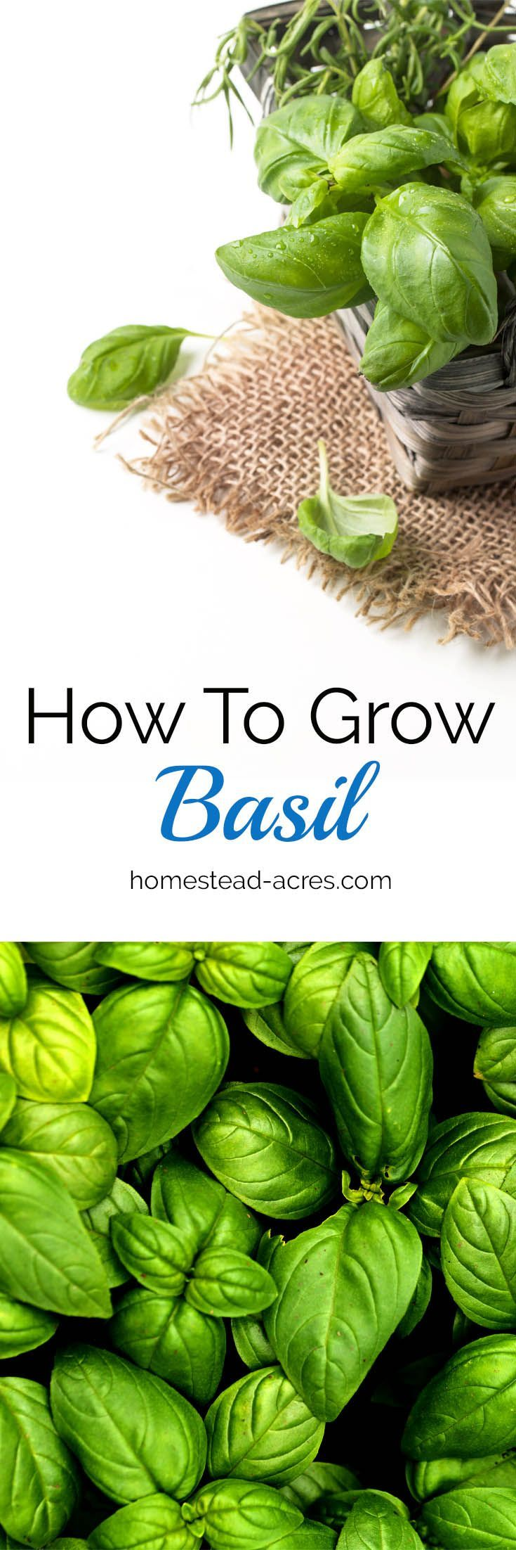 How To Grow Basil. Tips for planting, pruning, watering and harvesting basil plants in your garden.  https://www.homestead-acres.com/how-to-grow-basil/?utm_campaign=coschedule&utm_source=pinterest&utm_medium=Kim Mills | Homestead Acres | Homeschooling + H