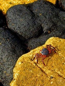 Grapsus Grapsus Crab - #Galapagos #Islands