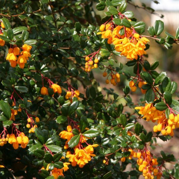 Berberis darwinii can be lightly pruned after flowering in spring to remove dead flowers.  Info for hard pruning also.